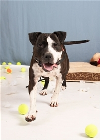 Ryder, an adopted Pit Bull Terrier Mix in Eagle, ID
