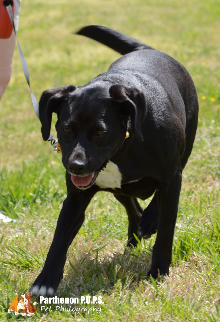 Olive, an adoptable Labrador Retriever Mix in Hendersonville, TN
