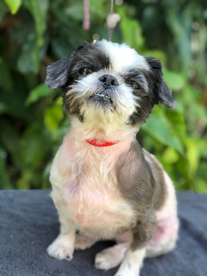 Zelda, an adopted Shih Tzu in Davie, FL