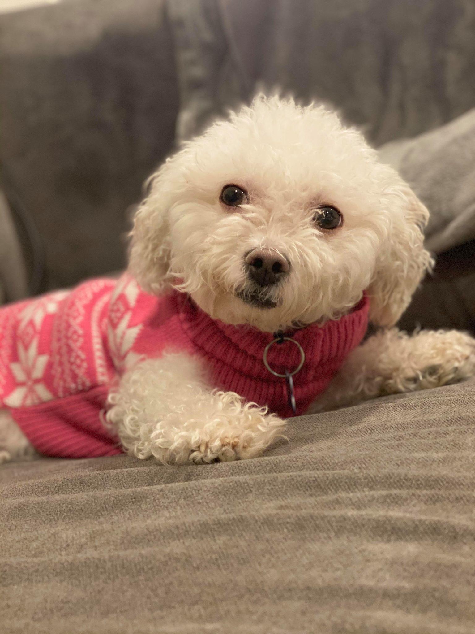 Dog for adoption - Neena, a Miniature Poodle & Bichon Frise