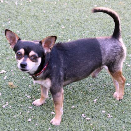 Mighty, an adoptable Chihuahua Mix in Loxahatchee, FL