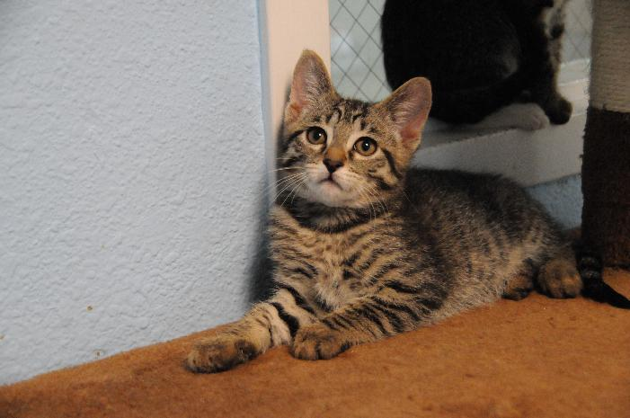 Prince, an adoptable Tabby in Jamestown, CA