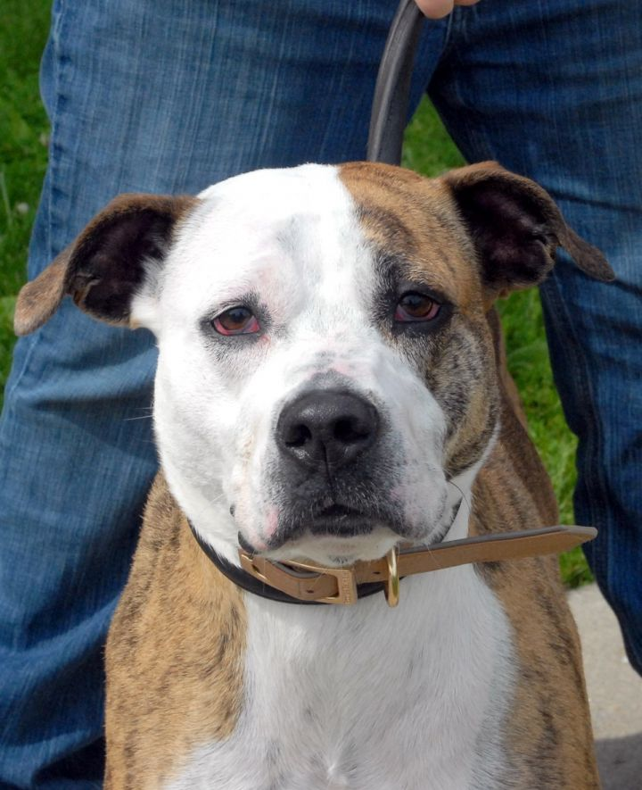 Harley, an adoptable Boxer & Pit Bull Terrier Mix in Medina, OH