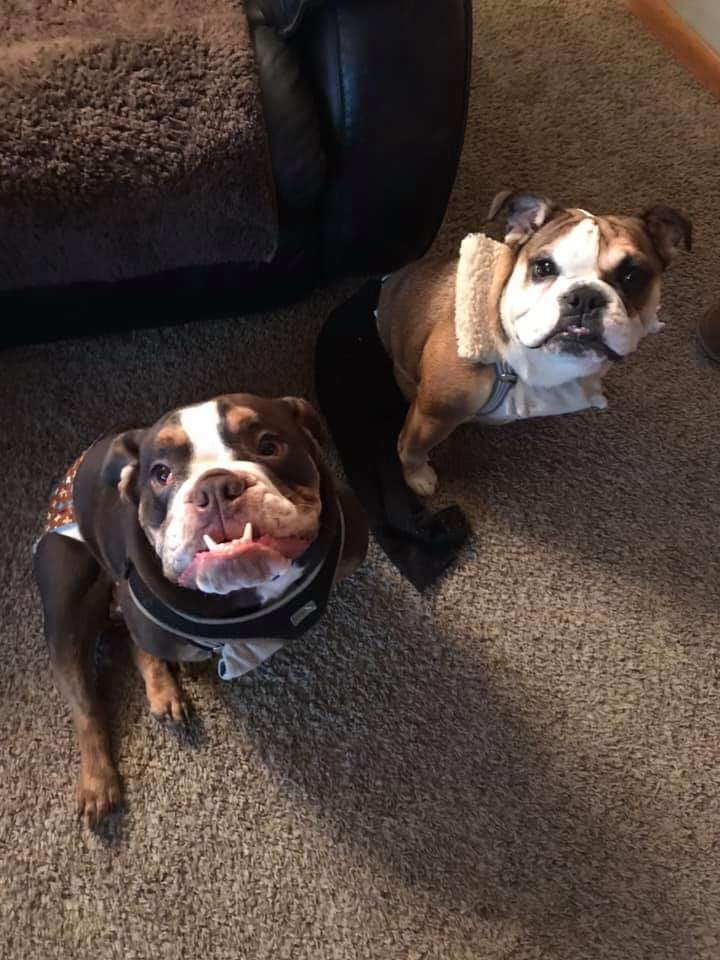 Mac, an adoptable English Bulldog in Visalia, CA