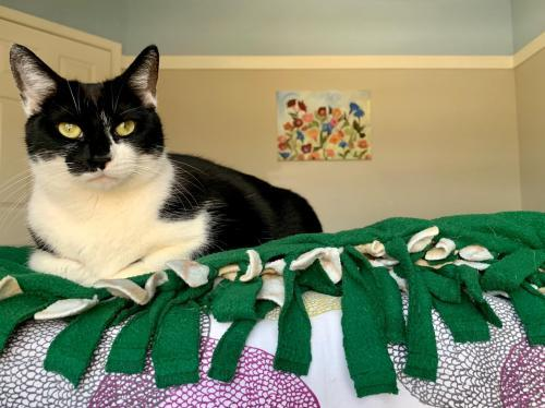 Rosemary, an adoptable Domestic Short Hair Mix in Indianapolis, IN