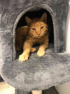 Cat for adoption - Crimson, a Domestic Short Hair in