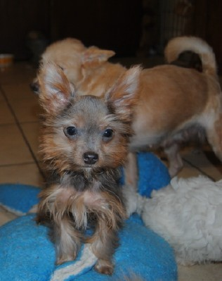 Dog for adoption - Benton, a Yorkshire Terrier in North