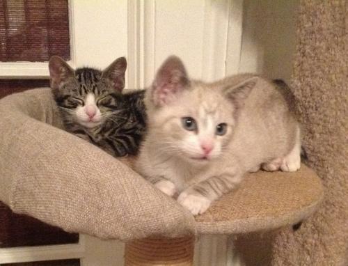4 adorable kittens- Ashley, Carson, Cameron & Kyle 1