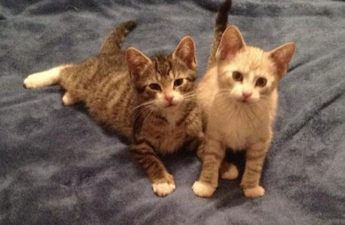 4 adorable kittens- Ashley, Carson, Cameron & Kyle 3