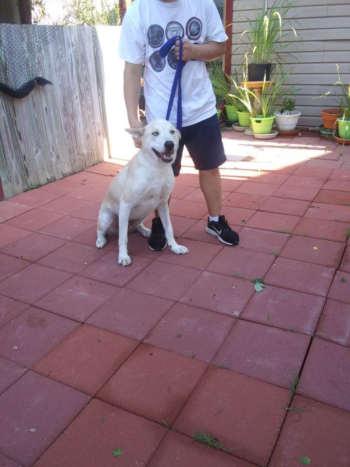 Husky Puppies For Sale San Antonio