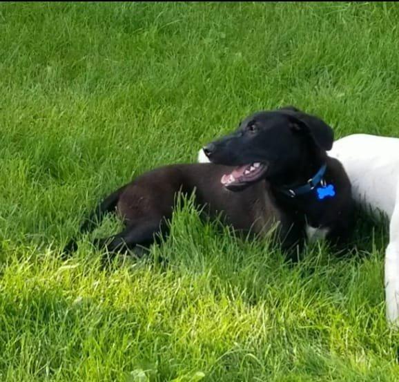Dog for adoption - Lincoln, a Labrador Retriever & Shepherd