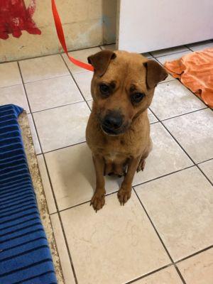 Dog for adoption - Mo, a Chow Chow Mix in Kailua Kona, HI
