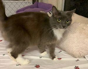 Keira Tuxedo Cat