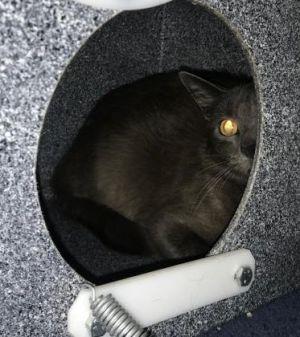 Dusky (Barn Cat)