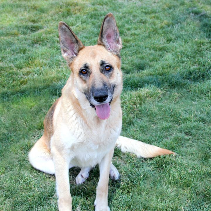 Tessa, an adoptable German Shepherd Dog Mix in Clovis, CA