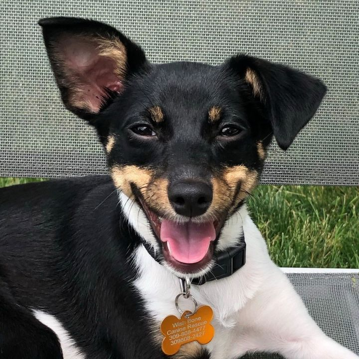 Hazey, an adopted Toy Fox Terrier Mix in Bloomington, IL