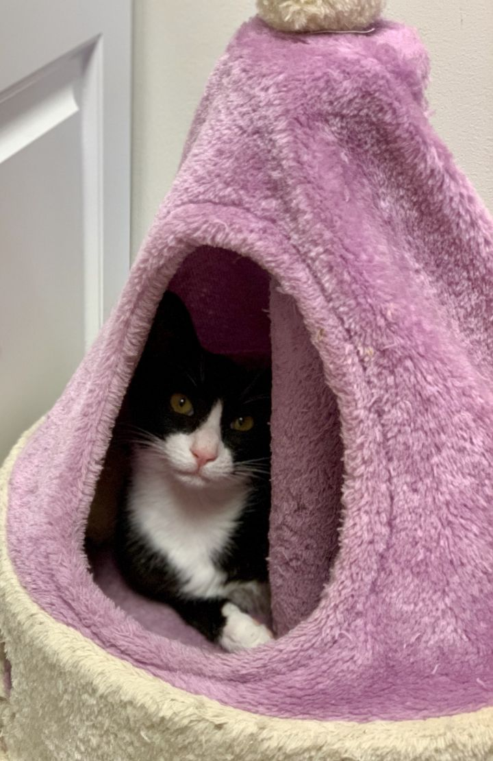 Meadow, an adoptable Domestic Short Hair in Island Park, NY