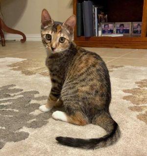 Cat for adoption - Phoenix, a Torbie in Austin, TX   Petfinder