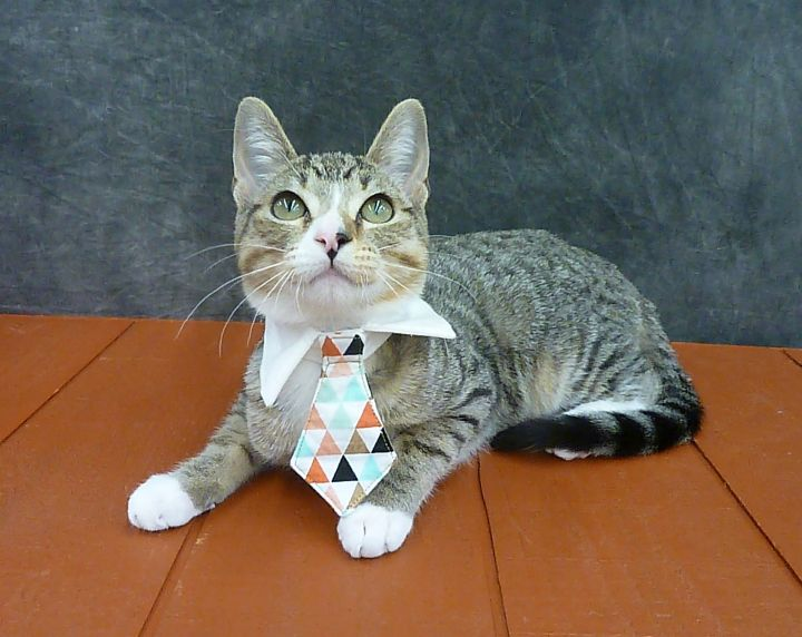 King Midas - Great with Children!, an adoptable Domestic Short Hair & Tabby Mix in League City, TX