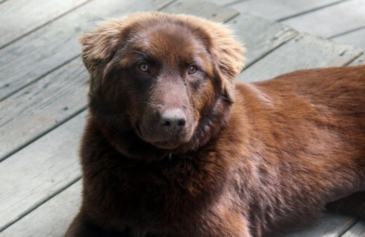 Dog For Adoption Dakota A Chesapeake Bay Retriever