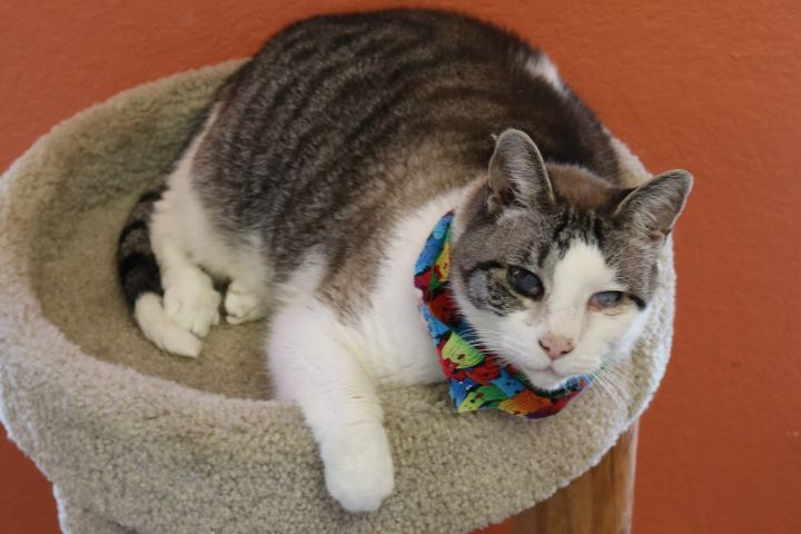 Sandy, an adoptable American Shorthair in Winter Haven, FL
