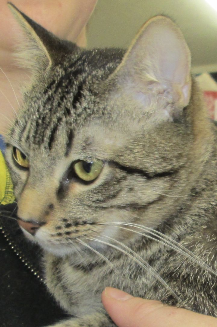 Ky, an adoptable Tabby & Domestic Short Hair Mix in Buhl, ID