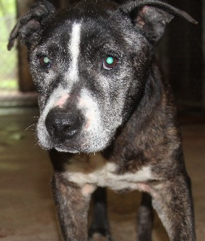 Dog for adoption - Doc, a Pit Bull Terrier Mix in Savannah