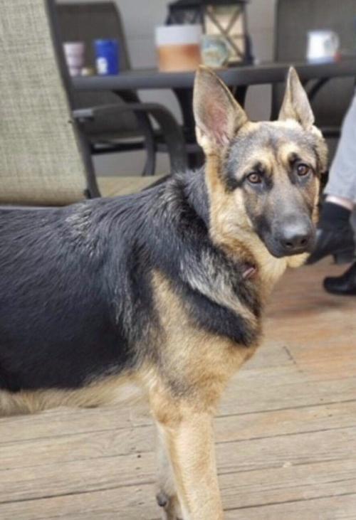 Ca  30 Resultater: German Shepherd Dogs Mn