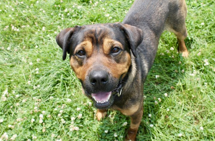 Joplin, an adoptable Rottweiler Mix in Lake Odessa, MI