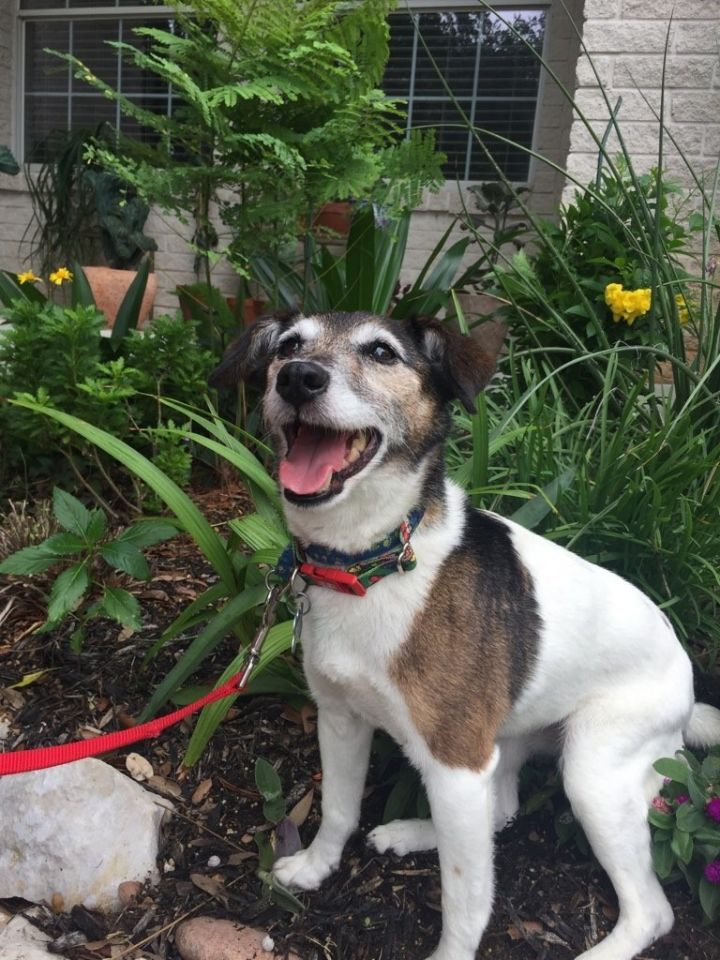 Tilly, an adopted Jack Russell Terrier in San Antonio, TX
