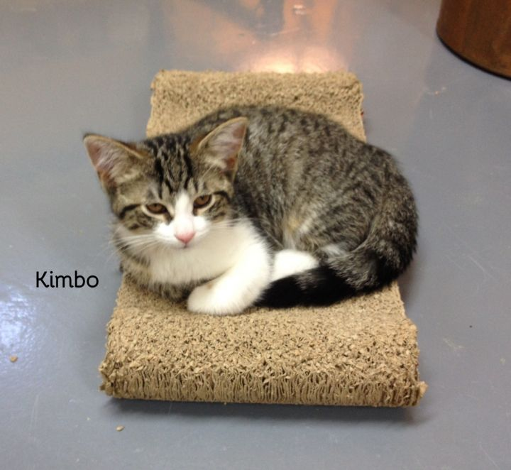 Kimbo, an adoptable Domestic Medium Hair in Chatham, ON
