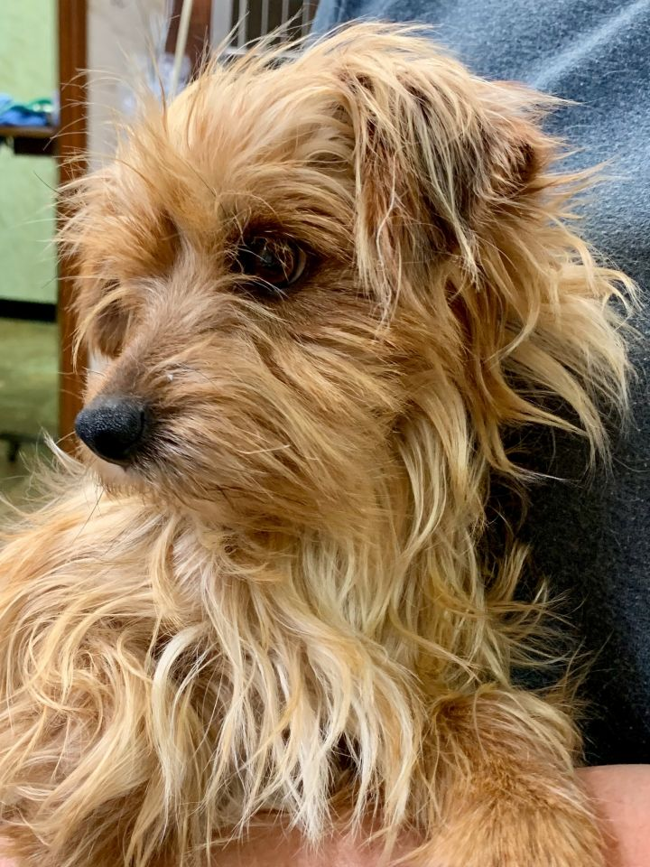 Dog For Adoption Buffy Adoption Pending A Yorkshire Terrier In
