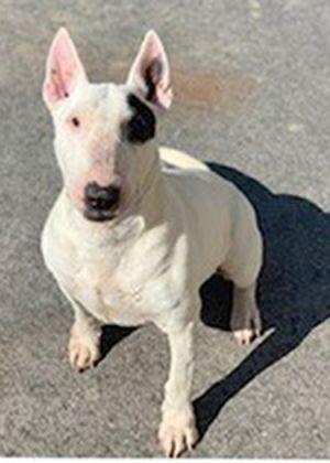 Dog for adoption - Leia, a Bull Terrier in Palm Desert, CA