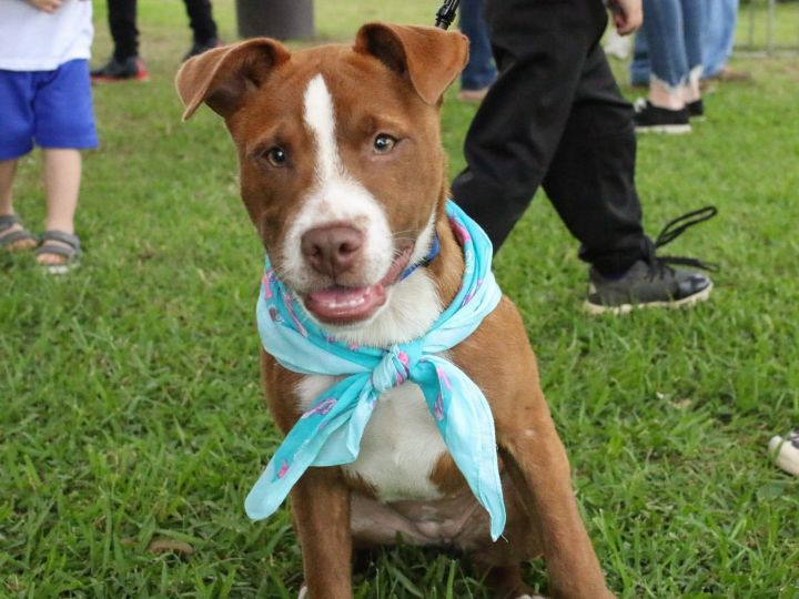 Dog For Adoption Strawberry A Pit Bull Terrier Husky Mix In