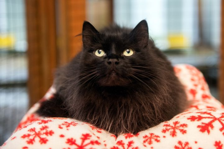 Lexi, an adopted Domestic Long Hair in Shoreline, WA