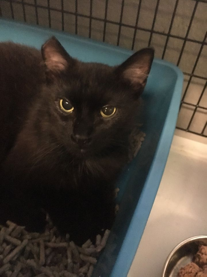 King, an adoptable Domestic Long Hair in Mendham, NJ