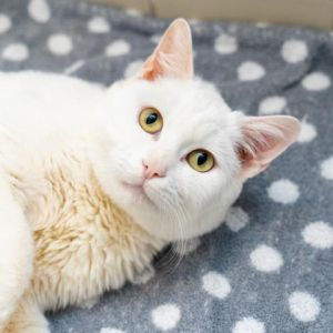 Opia Domestic Short Hair Cat