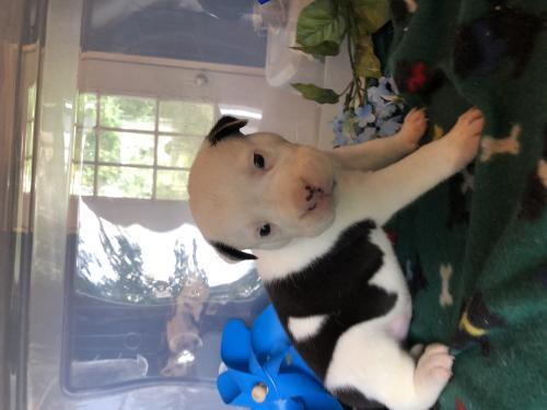 Dog For Adoption Roti A Pit Bull Terrier Border Collie Mix In