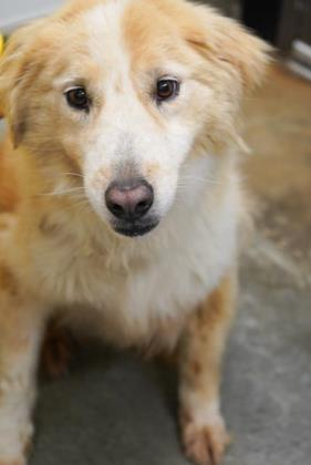 Dog For Adoption Maddie A Collie Mix In Bowling Green Ky Petfinder