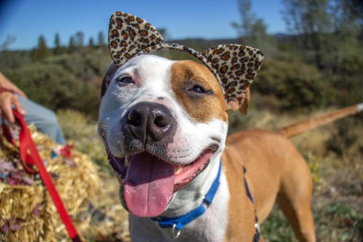 Rocky 6-67-19 A, an adoptable Staffordshire Bull Terrier Mix in Grass Valley, CA