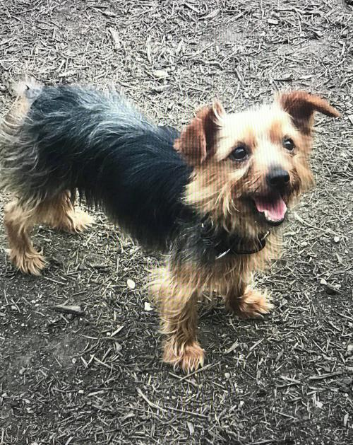 Dog For Adoption Trixie Tx A Yorkshire Terrier Mix In New York