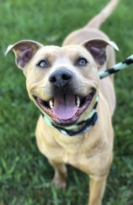 Phoebe, an adopted Pit Bull Terrier Mix in Mount Pleasant, MI