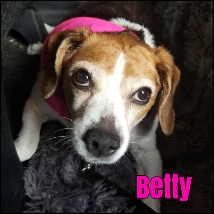 Betty, an adoptable Beagle in Bayside, NY