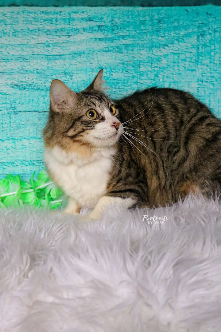 Chicklet, an adoptable Domestic Long Hair Mix in Marble Falls, TX