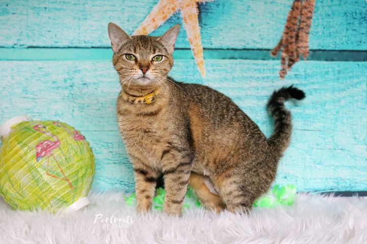 Ellie, an adoptable Domestic Short Hair & Tabby Mix in Marble Falls, TX