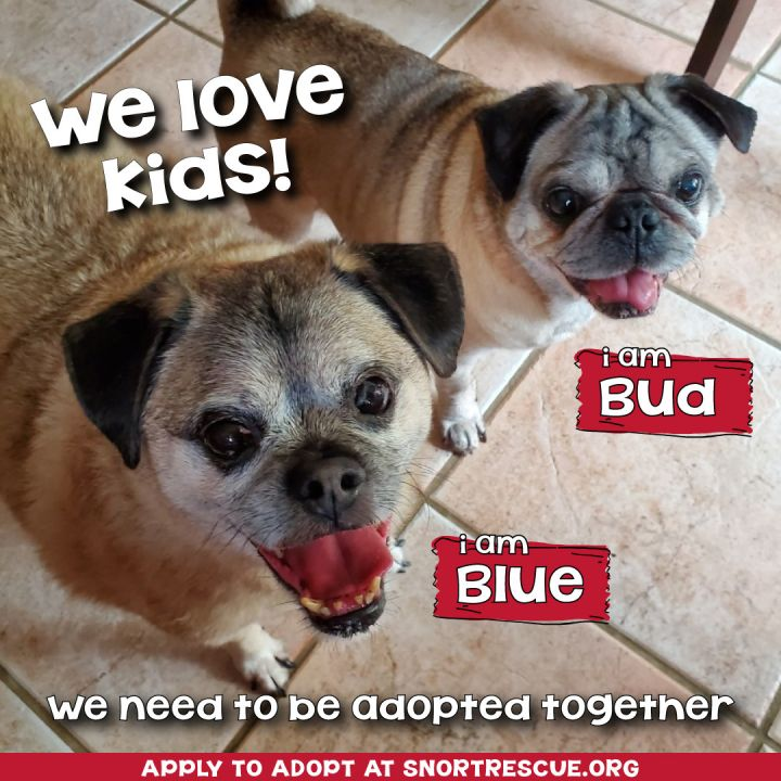 Dog for adoption - Bud & Blue, a Pug & Jack Russell Terrier