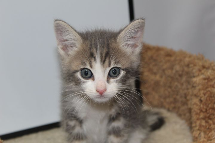 Oak, an adopted Domestic Short Hair & Tabby Mix in Tehachapi, CA