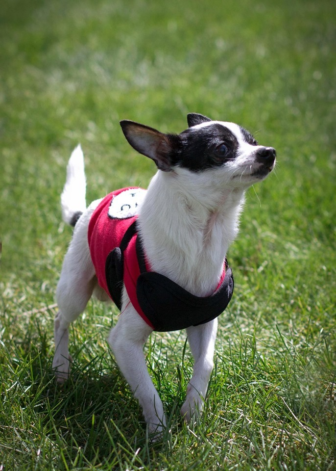 Timone, an adoptable Chihuahua Mix in Kennewick, WA