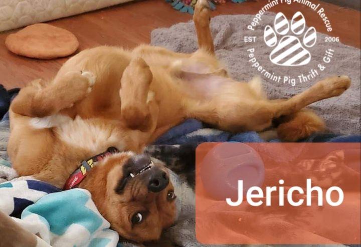 Dog for adoption - Jericho, a Shepherd & Golden Retriever Mix in