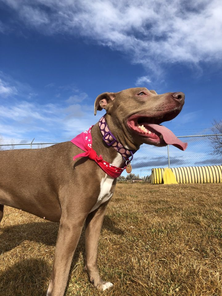 Alizay, an adoptable Weimaraner & Pit Bull Terrier Mix in Prineville, OR